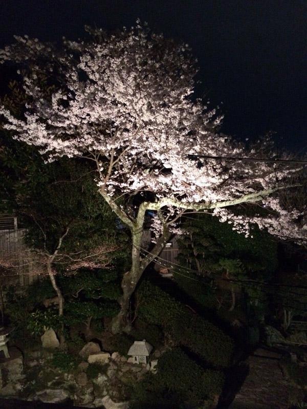 三瀧茶屋夜桜